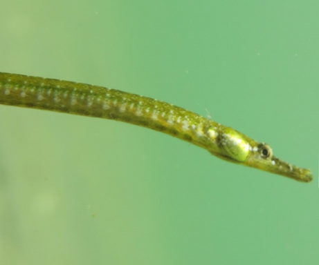 Syngnathus abaster